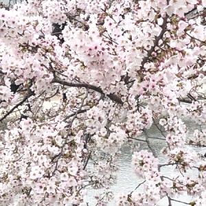 寂しく桜満開 & 【 3月備忘録  】