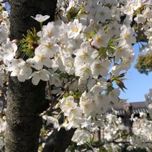 四天王寺の桜と一心寺