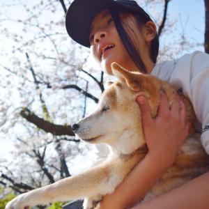 桜日和~16歳柴犬と桜写真撮影してきました~