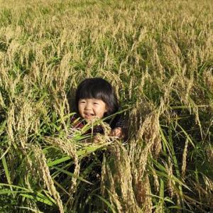 なかがわ野菊の里のお米 新米コシヒカリについて
