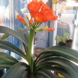 この花が咲いた。名前は忘れちゃった。わかる方は教えてください