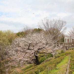 煽られず、焦らず、慌てず・・・・・桜に和む