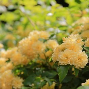 満開のモッコウバラと名前知らずの花