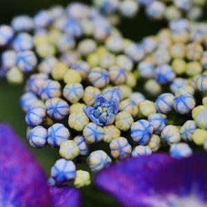 レアな紫陽花