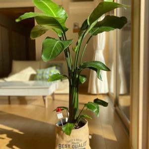 観葉植物 オーガスタについて