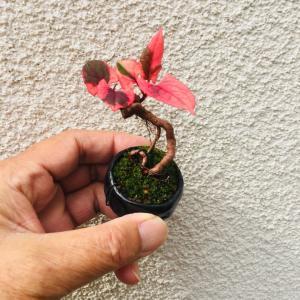 草盆栽(イタドリ)