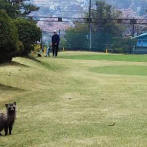 緑ゴルフコースでちょっと一息、たぬきさん
