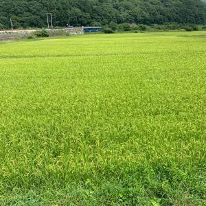 田んぼの草刈り。