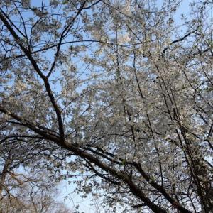 青空に白い花