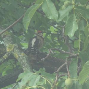 アカゲラと胡桃の木