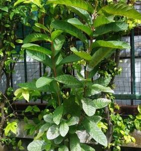 今日はチョロと農家仕事 タイ 観葉植物