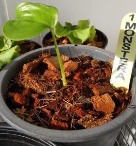 タイ モンステラ 観葉植物 種植えから一ヶ月成長期