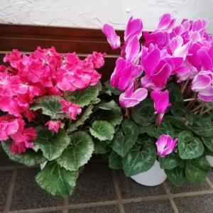 暖冬で花盛り