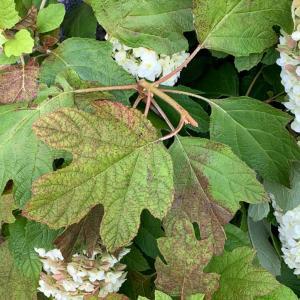 """カシワバアジサイの葉。""""紫陽花とアジサイ。"""""""
