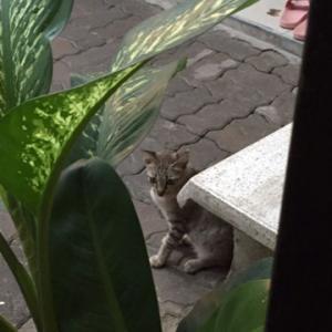タイ猫さん