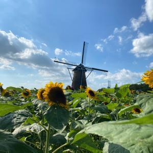 【千葉のおでかけ〜オランダ風車とひまわり畑】