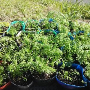 秋植えにおすすめのカモミールの苗