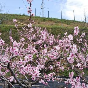 畑での桃の花見&バーベキュー