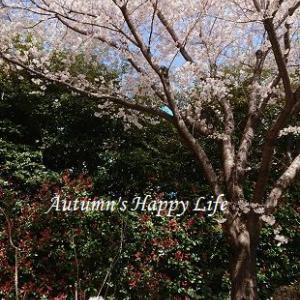 いつもの仲間といつもの桜で!