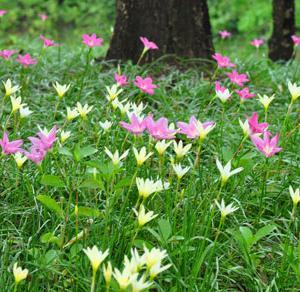 ゼフィランサスの花(タイ語名:ブアディン บัวดิน)
