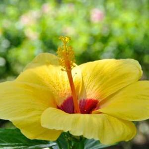 8月末日の誕生花・仏桑華(Hibiscus)