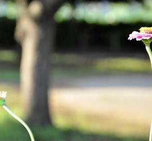 公園で元気に咲き続ける「ジニア」(Zinia)