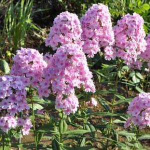 「Garden phlox」の和名は草夾竹桃でした!