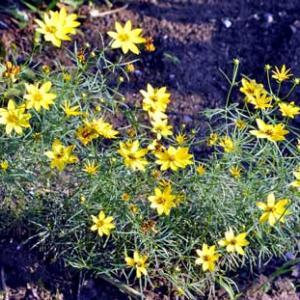 糸葉波斯菊(イトバハルシャギク)の花のようですが・・・