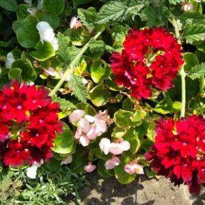 炎暑に強いバーベナの花
