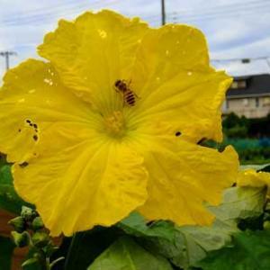 胡瓜(キュウリ)の実のなる雌花