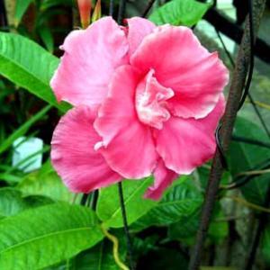 初めて目にしたマンデビラの花