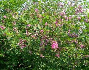 「萩の花」(秋芽)と弓削皇子
