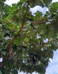 桐の木についていた幼果