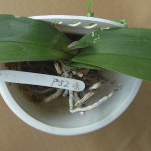 新芽の成長が進む紅白のミニ胡蝶蘭!