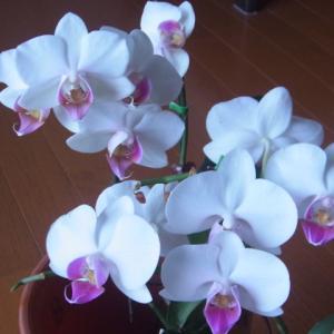 リップが薄ピンクのミニ胡蝶蘭2種!