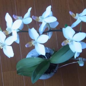 開花が進むミニ胡蝶蘭「なごり雪」!