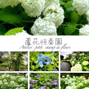 ■ 「蘆花恒春園」のアナベル満開