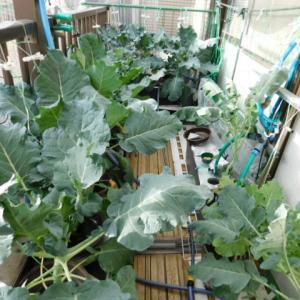 ブロッコリー 初収穫