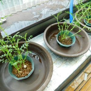 水耕容器移植&種を買いました