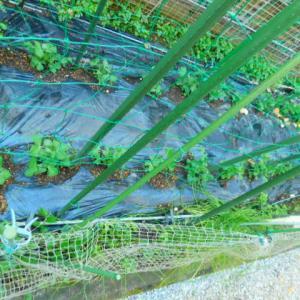 庭とベランダの絹さや