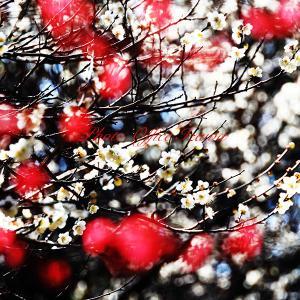 じゅんさい池公園「梅の花見頃」