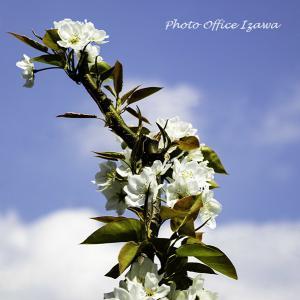 「桜の後は、梨の花」