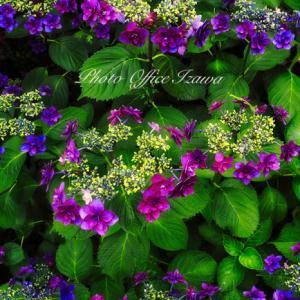 自宅の紫陽花がほぼ満開になりました