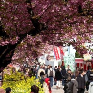◆久しぶりの河津桜♪
