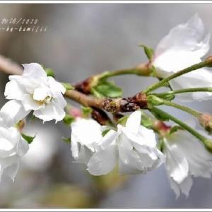 冬桜(10月桜)Ⅱ