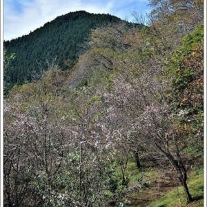 冬桜(10月桜)Ⅷ