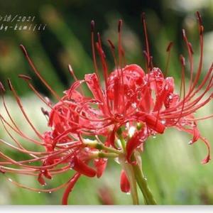 紅白彼岸花(2)