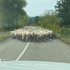 羊にひかれました…