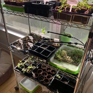 室内菜園始めました