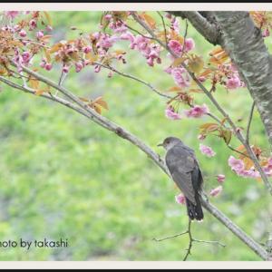 八重桜にツツドリ